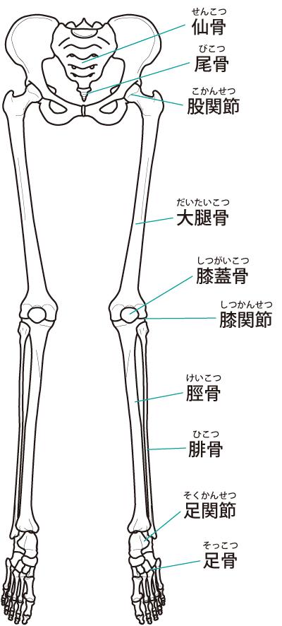 下肢の骨格のイラスト