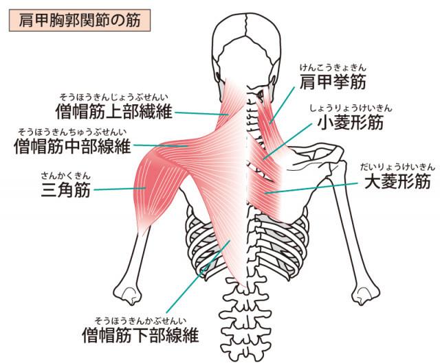 上肢の筋肉・関節のイラスト
